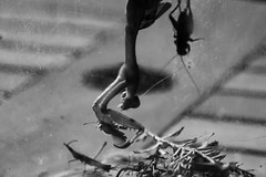 butterfly capture (l e o j) Tags: mantis bug insect butterfly capture predator prey moment snatch caught catch cricket praying grasshopper monochrome bw bnw box cage カマキリ 虫 昆虫 蝶々 蝶 バッタ コウロギ 捕まる 瞬間 白黒