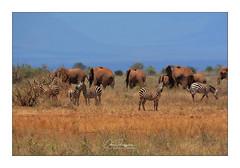En liberté (Claire PARMEGGIANI Photos) Tags: africa africangallery africanlife africanwildlife eastafrica gamedrive kenya safari wildlife wildafrica zebra