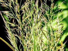 Grass (pmorris73) Tags: arboretum pennstateuniversity statecollege pennsylvania century 2cee 3cee 4cee 5cee 6cee 7ca1019 8cb1519
