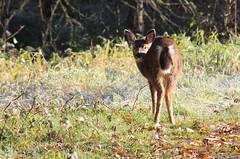 IMG_1527 Black-tailed Deer fawn (Jon. D. Anderson) Tags: deer blacktaileddeer fawn odocoileushemionuscolumbianus odocoileushemionus