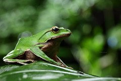 2J4A8097 (ajstone2548) Tags: 12月 樹蛙科 兩棲類 翡翠樹蛙