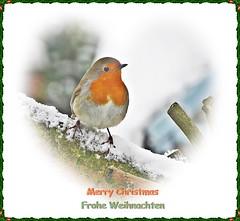 Robin (Deida 1) Tags: christmasrobin garden bird uk staffordshire robin snow merrychristmas