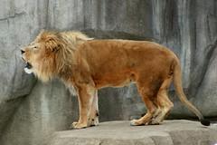 Lion 6 (Emily K P) Tags: milwaukeecountyzoo zoo animal wildlife bigcat cat feline male lion tan yellow grey gray rock roar vocalize