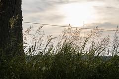 June is Golden (marylea) Tags: jun17 2018 fields field light oak soybeans soybeanfield grasses sunlight evening