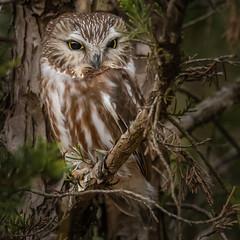 Saw-Whet Owl #3 (lifer) (Kevin E Fox) Tags: sawwhetowl owl newjersey bird birding birdwatching birds birdofprey nature nikond500 nikon sigma150600sport sigma