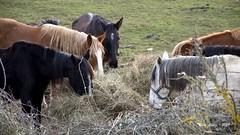 _DSC2496 (Rodo López. Fotero... instantes en un clic) Tags: animalesenelbierzo animales elbierzo españa explore excapture elcampo nikon naturaleza nature nostalgia naturebynikon caballos vacas