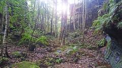 Rainforest_1 (Tony Markham) Tags: missinghamsteps budderoonationalpark kangarooriver wet slippery steep dangerous rainforest fungi fungus pleurotus