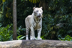White Tiger (Synghan) Tags: whitetiger tiger panthera pantheratigris animal cat bigcat frontview mammal predator predatory standing photography horizontal outdoor colourimage fragility freshness nopeople foregroundfocus adjustment interesting awe wonder fulllength depthoffield vivid sharpness staring lookingaway stone rock singaporezoo zoo zoologicalpark singapore nature natural wild wildlife telephoto magnified head canon eos80d 80d tamron 18270mm f3563 diii sp vc 백호 하얀호랑이 흰호랑이 호랑이 싱가포르 동물원