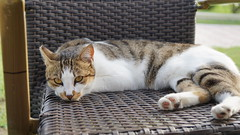 2015-09-20_16-47-30_ILCE-6000_DSC00252 (Miguel Discart (Photos Vrac)) Tags: 2015 55mm animal animalphotography animals animalsupclose animaux cat cats chat chats colakli e1670mmf4zaoss focallength55mm focallengthin35mmformat55mm holiday hotel ilce6000 iso100 kamelya kamelyaworld nature naturephotography pet sony sonyilce6000 sonyilce6000e1670mmf4zaoss summer turkey turquie vacance vacation