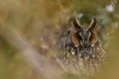 Owls in the cedars (Rob E Twoo) Tags: