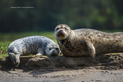Mother and Pup (ArmanWerthPhotography) Tags: armanwerthphotography harborseal pup mother wildlife britishcolumbia indianarm canada
