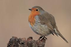 Pallino!!!!! (Marcello Giardinazzo) Tags: robin wild avifauna pettirosso natura birds uccelli