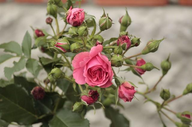 Обои цветы, куст, розы, бутоны картинки на рабочий стол, раздел цветы - скачать