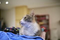 A7R3__DSC2792_C1 (Bazoka+Cynthia) Tags: pupu 小婆 新北市 樹林區 貓 cat