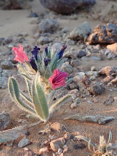Flowers in the Sahara