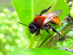 Tawny Mining Bee (sam2cents) Tags: nature wildlife tawnyminingbee andrenafulva bee solitary insect ireland wicklow