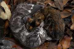 Meow (ElisaArduini) Tags: cat cats animal animals gatto gatti