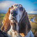 Boo with a View (mejud) Tags: bassethound dog rescuedog portrait threemiletown scotland microfourthirdscameras micro43 lumix