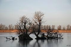 Oostvaardersplassen aalscholvers