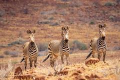 Namibia 0704 (Kayla Stevenson) Tags: africa mountainzebra namibia
