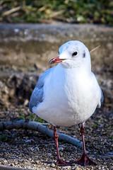 petite mouette (thierrybalint) Tags: oiseau bird mouette seagull parc borély marseille park nikon nikoniste balint thierrybalint