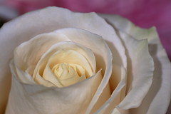 Rose (macromerriment) Tags: rose rosa lower garden bloom blossom nature outside outdoors white pink sigma180mmf28macroexdgoshsm macro dof
