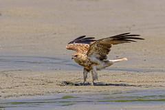 buckley's hole: a whistling kite (and eel) (Fat Burns ☮) Tags: whistlingkite haliastursphenurus kite raptor bird australianbird fauna australianfauna hawk nikond500 nikon200500mmf56eedvrs buckleyshole bribieisland queensland australia wildlife australianwildlife
