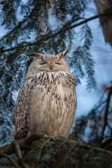 Siberian Eagle Owl (THW-Berlin) Tags: owl eulen uhu birds animals vögel tiere natur nature tierpark parks sony alpha6500 sigma 135mm