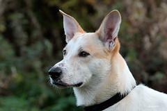 Bobby (K.Verhulst) Tags: bobby dog dogs hond pet huisdier ommoordseveld