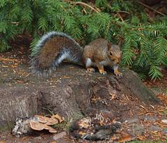 2018_09_0753 (petermit2) Tags: greysquirrel squirrel clumber clumberpark nottinghamshire nationaltrust nt fungus fungi mushroom