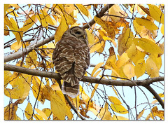 Barred Owl (Redtail10025) Tags: barred owl raptors migration city urban parks central park wildlife nature fall autumn birds birding golden leaves trees