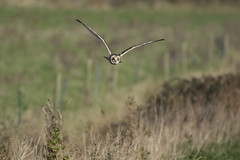 On a mission (Ade Ludlam) Tags: short eared owl hunting hedge somerset raptor bird prey nature wildlife nikon d7200 sigma sigma150600