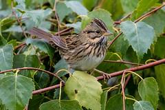 Lincoln's Sparrow (JohnReynolds2012) Tags: 2018 vancouver bc wildlife bird birds canada inaturalist animals portcoquitlam britishcolumbia ca