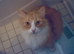 "Jimmy: ""Okay, so you're home now. Right?"" (rootcrop54) Tags: jimmy orange ginger longhaired tabby male cat aftervacation bathroomscale neko macska kedi 猫 kočka kissa γάτα köttur kucing gatto 고양이 kaķis katė katt katze katzen kot кошка mačka gatos maček kitteh chat ネコ"