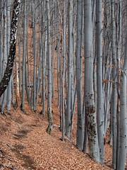 szürke erdő / gray forest (debreczeniemoke) Tags: ősz autumn túra hiking hegy mountain gutin erdély transilvania transylvania táj land tájkép landscape erdő forest kopár bare fa tree szürke gray olympusem5
