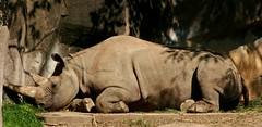Rhino Sleeping (Emily K P) Tags: milwaukeecountyzoo zoo animal wildlife blackrhinoceros rhinoceros rhino grey gray tan texture monotone sleeping asleep