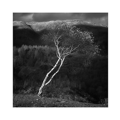 Hanging on (Pete Rowbottom, Wigan, UK) Tags: landscape tree lonetree silverbirch hodgeclosequarry lakedistrictnationalpark light sunlight blackandwhite monochrome nikond810 ambleside coniston art nature mountains remote peterowbottom detail slate cumbria autumn leaning outdoors uk england intimatelandscape leaves sunlit clouds