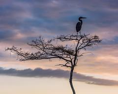 """Great Blue Heron"" (Sal Sciarrino) Tags: florida birds evergladesnationalpark everglades wildlife conservation sky nature nikon ngc"