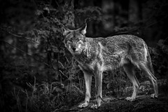 Coyote - The Pensive Stare (SNAPShots by Patrick J. Whitfield) Tags: cyote animals dogs canine blackwhite blackandwhite monochrome lighting noiretblanc noire shadows pose portrait life cute predator prey outside nature naturephotography eyes detail dof depthoffield texture wild wildlife