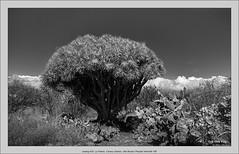 analog 6x9, La Palma, Canary Islands, with Brooks Plaubel Veriwide 100 (Dierk Topp) Tags: bw brooksplaubelveriwide100 plaubel superangulon847mm veriwide analog canaryislands dragontree islascanarias lapalma monochrom sw trees