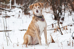 Picture of the Day (Keshet Kennels & Rescue) Tags: adoption dog ottawa ontario canada keshet large breed dogs animal animals pet pets field nature photography winter snow catahoula mix sleepy snowfall snowing sit brown white
