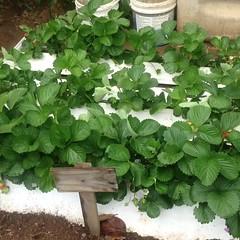 🌱🌿🍓 Moranguinhos Orgânicos 🍓o prazer de Plantar e colher! plante Você também. Siga-nos no YouTube Link na capa da Página #morango #morangueiro #morangos #strawberry #mundodasplantasnet #horta  #hortaliças #hortafacil #h (adriano270266) Tags: orgânico orgânic garden farm gardner strawberry morangueiros morango
