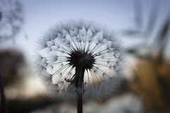 Blossoming out dandelion (zeulon) Tags: dandelion morning autumn nature flora fuzz plant flower seed