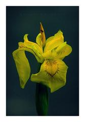 Iris pseudacorus (Bertuś) Tags: flowers flowersphotography robertkubacki fujifilm przyrodapolska poland naturephotography iris