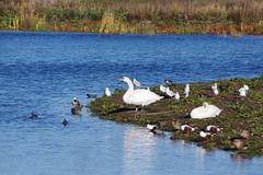 Swans and Ducks (Derek Morgan Photos) Tags: berkshire dintonpastures lavellslake hurst muteswan shoveler duck lapwing mallard coot moorhen blackheadedgull
