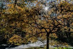Golden Maple Silhouette (4 Pete Seek) Tags: gibbsgardens gardens botanicalgardens nature naturephotography autumn autumncolors autumnleaves fall fallcolors