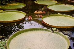 33970010 (Pomegranate_seeds) Tags: garden 35mm photography water lilly plant flora eau analog