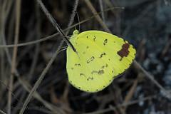 IMG_0027 Eurema hecabe solifera (Raiwen) Tags: eurema pieridae coliadinae butterflies lepidoptera basseguinée guinea westafrica africa euremahecabesolifera