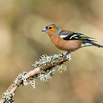HC - PDI. League 3.. Chaffinch by Andrew C M Chu
