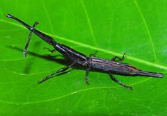 Straight-snouted weevil Brentus sp. near recticauda (Coleoptera:Brentidae) (Luis Miguel Constantino Chuaire) Tags: brentidae coleoptera brentus colombia primitiveweevil